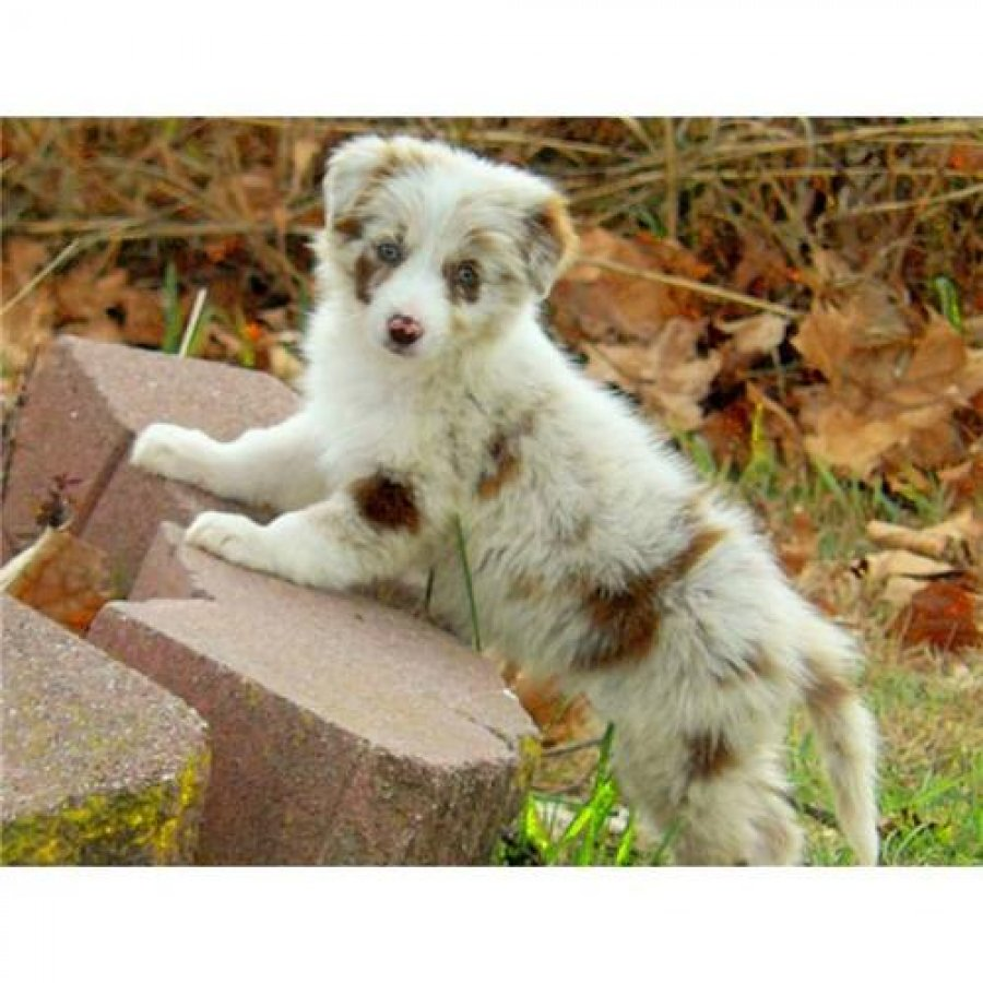Sweet Border Collie puppies looking for a loving home offer Dogs & Puppies