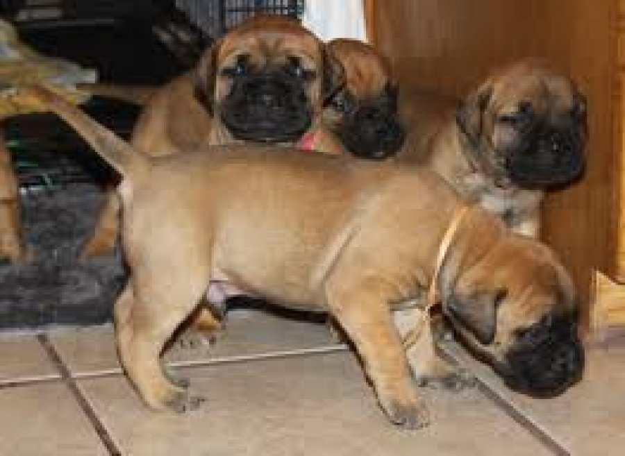 Male and female Mastiff Pups For a cute home offer Dogs & Puppies