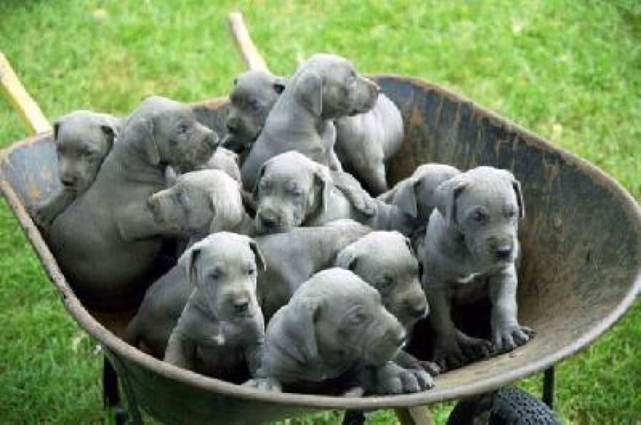 Male and female Great Dane puppies offer Dogs & Puppies