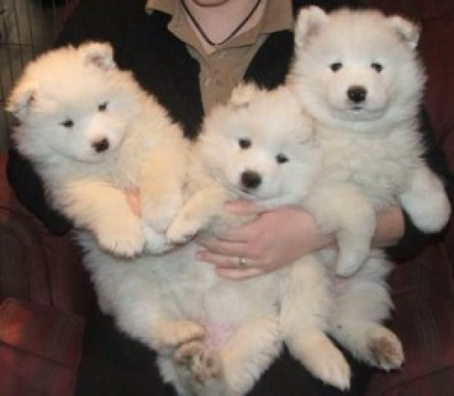 Magnificent Samoyed puppies offer Dogs & Puppies