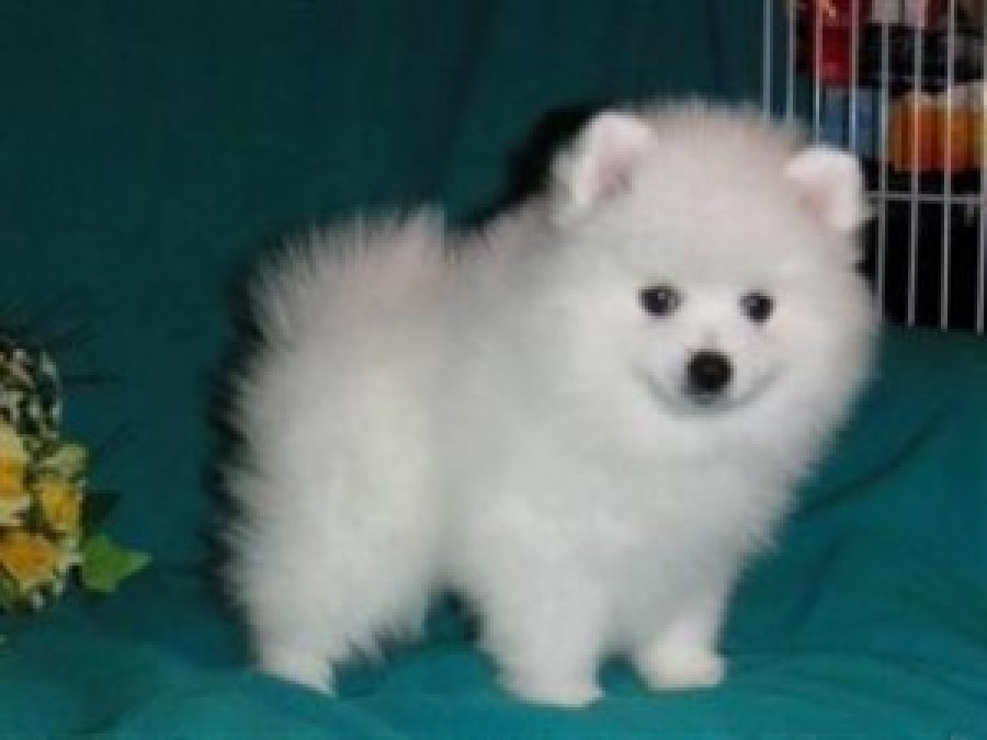 Purebred Pomeranian Puppies Available for free adoption offer Dogs & Puppies