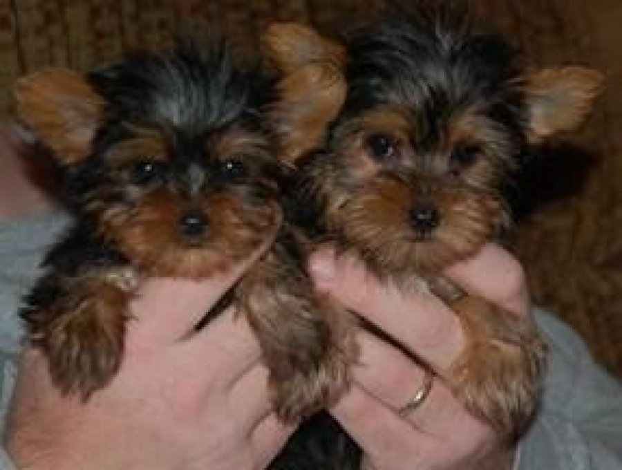 Pure Breed Yorkshire Terrier Puppy for free adoption offer Dogs & Puppies