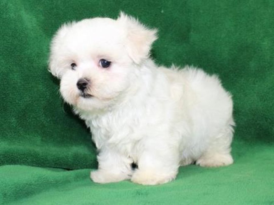 White Cairn Terrier Puppy Pure Bred Maltese pupp...