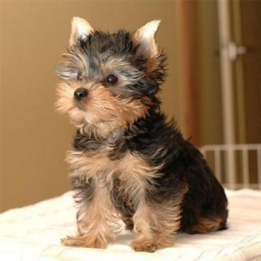 Cute Adorable Teacup Yorkie Puppies For Adoption Offer
