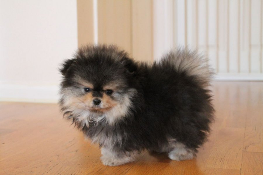 two beatiful pomeranian puppies for free adoption offer