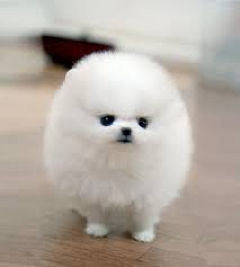 Healthy and cute Face looking teacup pomeranian puppies now needs to be rehomed offer Pomeranian