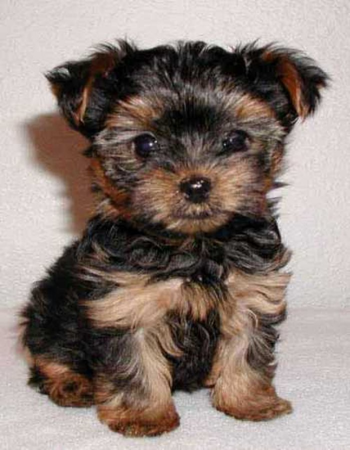 Cute Yorkie puppies offer Dogs & Puppies