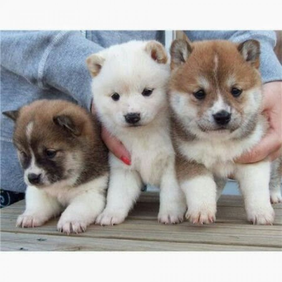 Home raised Shiba Inu Puppies Offer