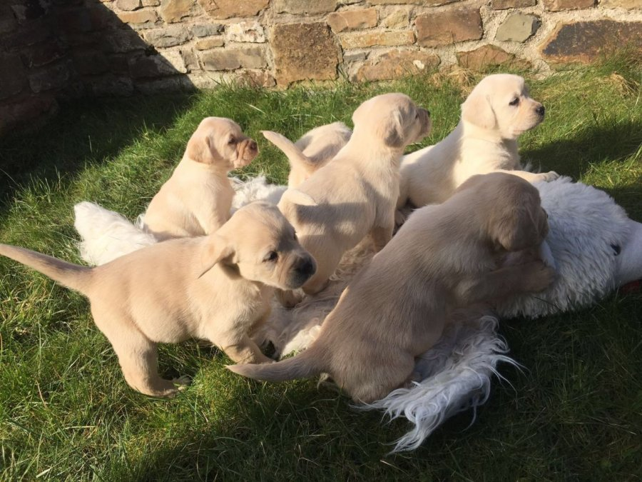 Golden retriever puppies for sale 250