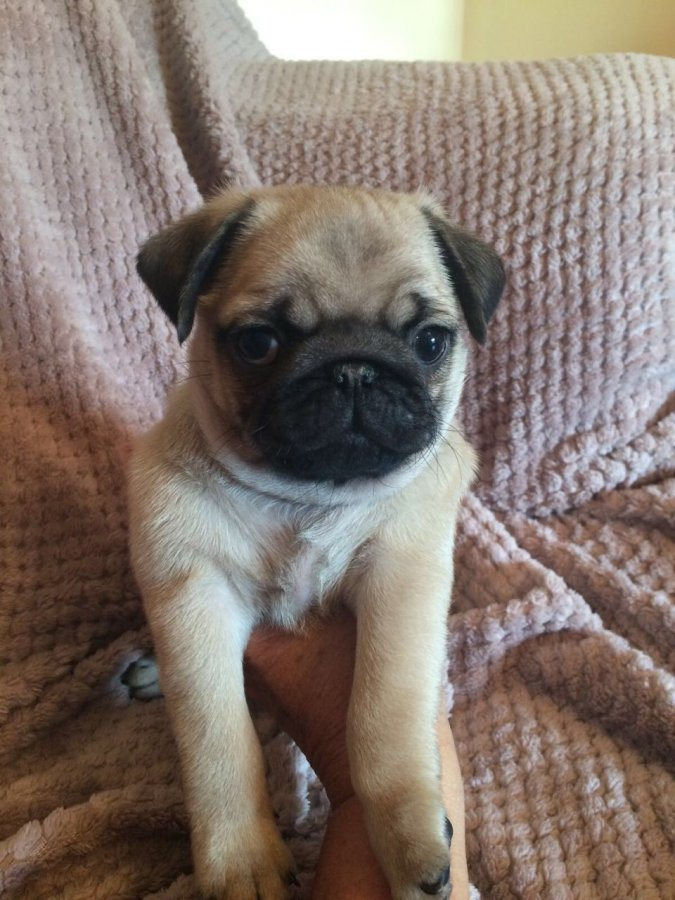 Adorable Pug Puppies For Adoption Offer 9
