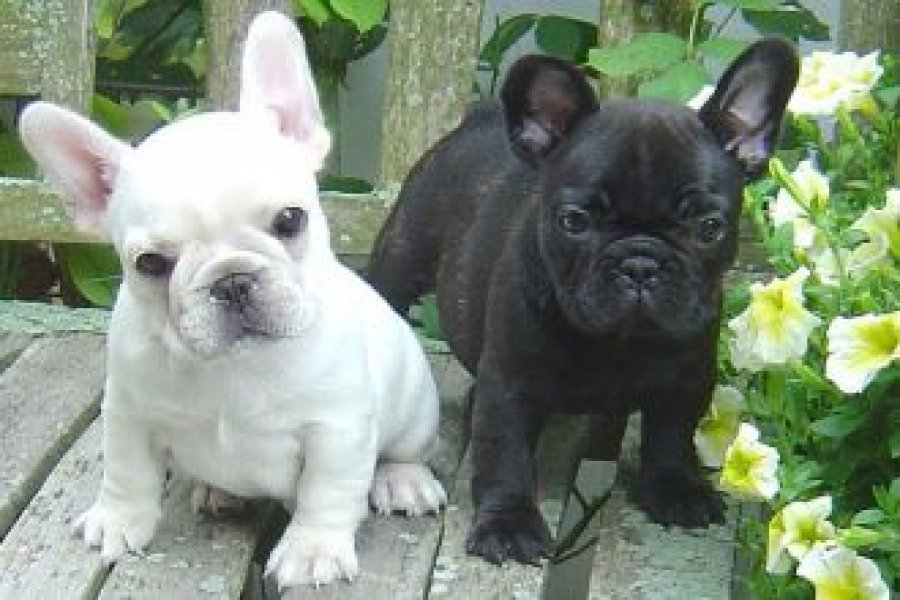 """No, My Name Is NOT """"Eeyore!"""" (Cute Overload)   French ...   Black French Bulldog Puppies For Adoption"""