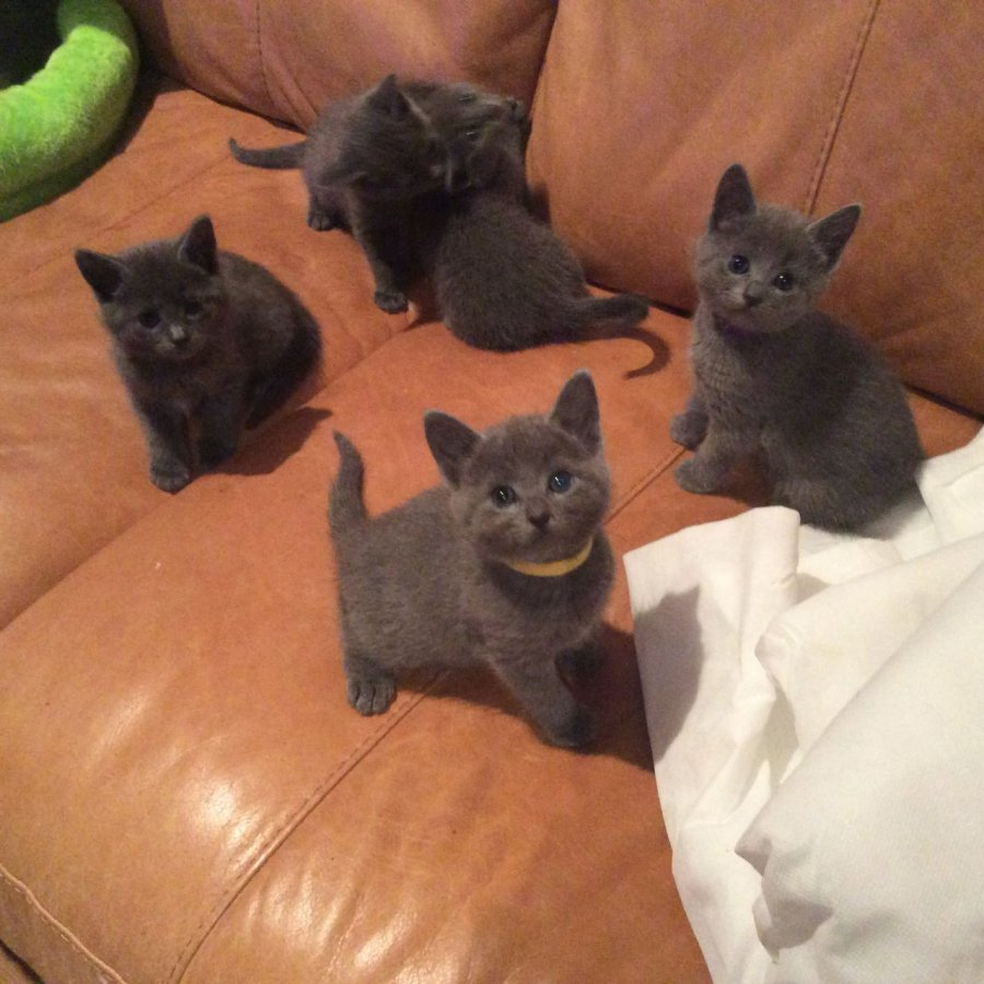 Russian Blue Kittens for Adoption fer