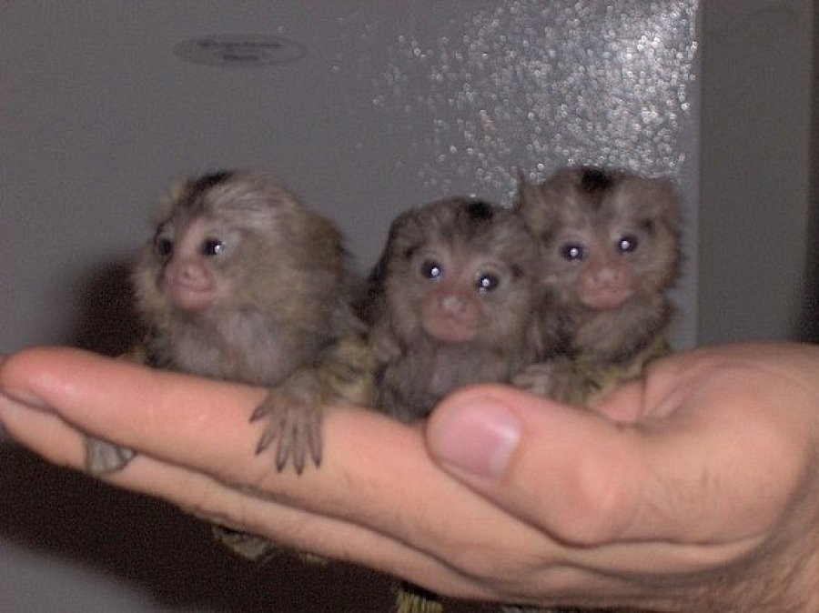 Capuchin,Squirrel,spider & marmoset monkeys available for ...