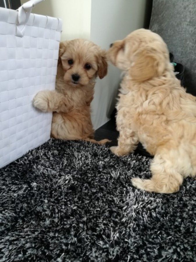 Fabulous Yorkie Poo Puppies Red Apricot Girls Offer