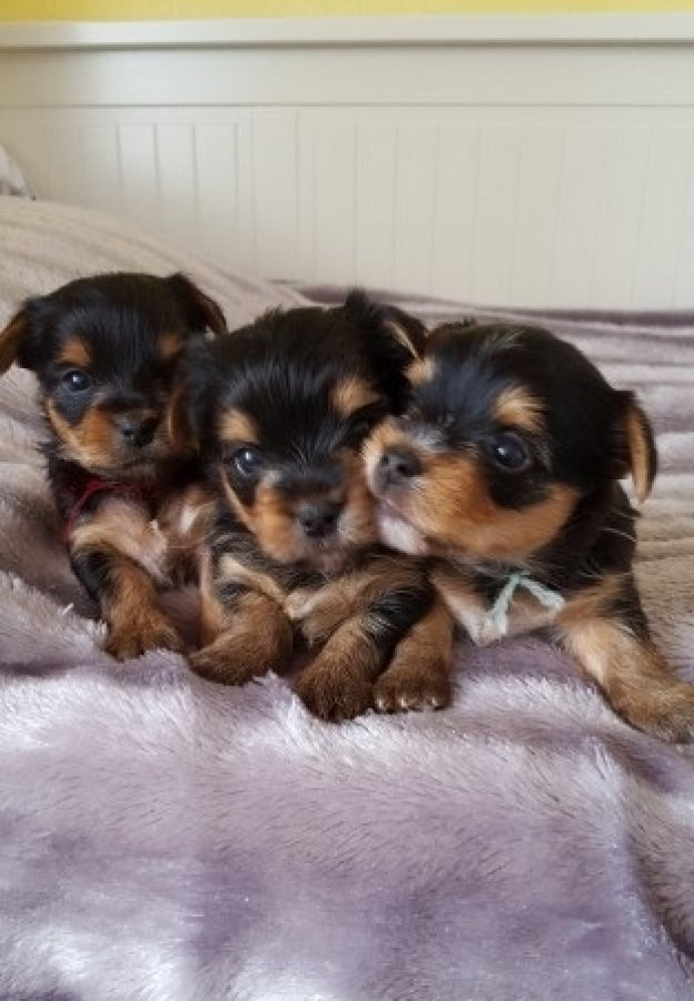 Gorgeous Pedigree Teacup Yorkie Puppies offer Dogs & Puppies