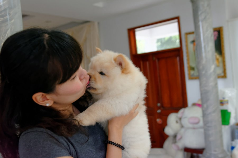 Nice and Healthy Chow Chow Puppies Available offer Other Breeds of Dogs
