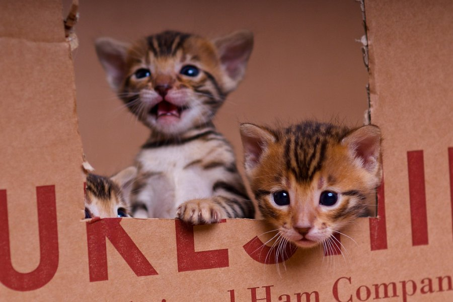 Cute Bengal Kittens Available offer Cats & Kittens