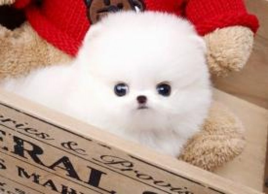 teacup pomeranian puppies for adoption charming teacup