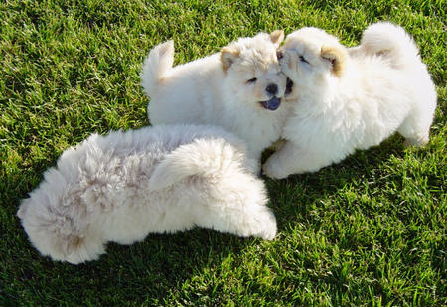 Pedigree Chow Chow Puppies offer Dogs & Puppies