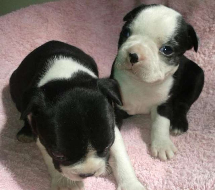 Beautiful Black brindle and white Boston Terrier Puppies offer Dogs & Puppies