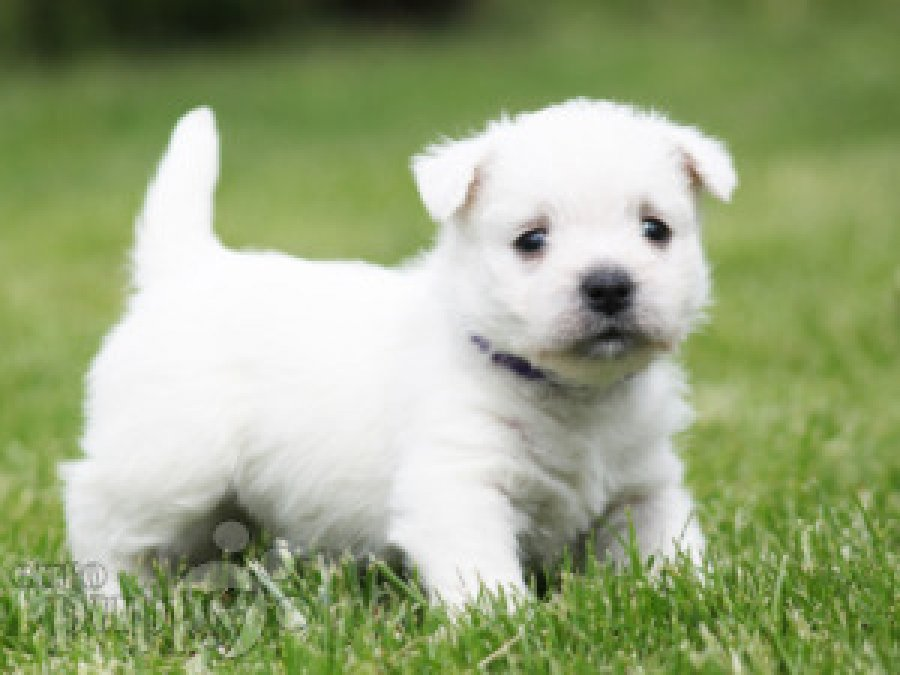 West Highland Puppies. offer Dog Wanted