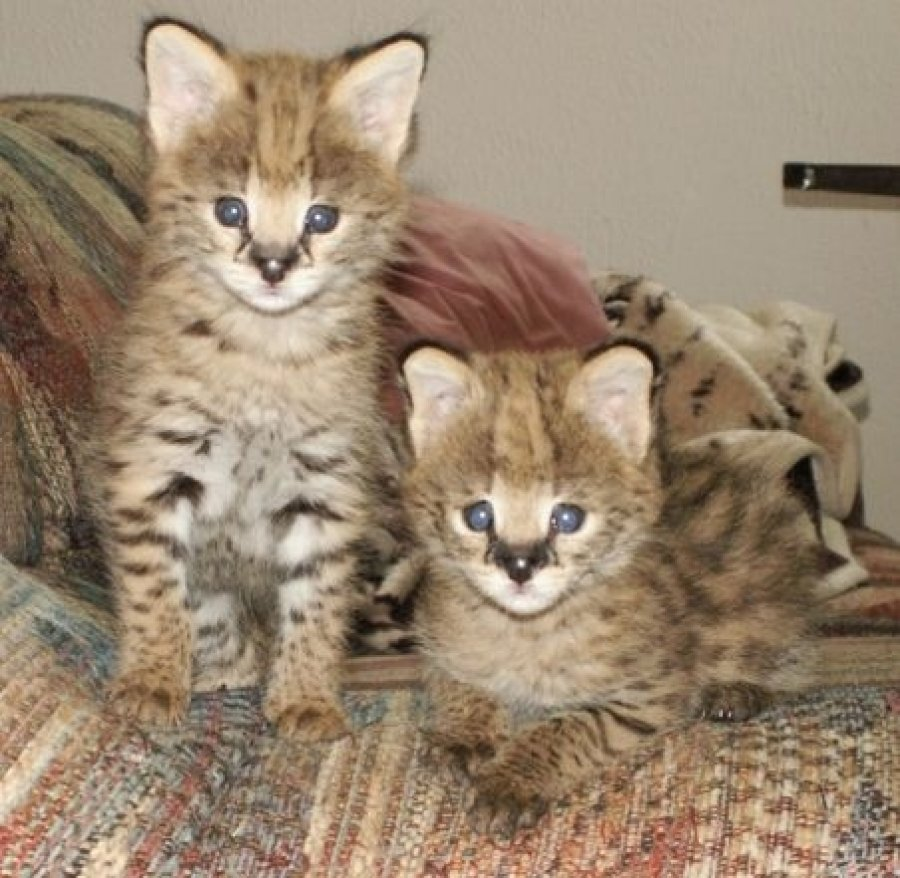 F1 Savannah and Bengal kittens for adoption fer €1200