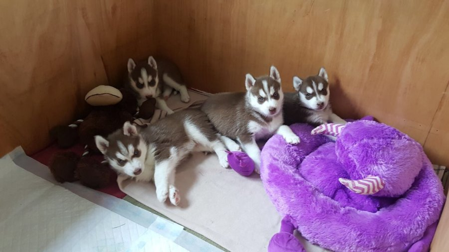 Pure breed Siberian Husky Puppies For Sale offer Siberian Husky