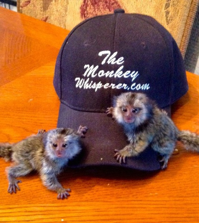 Baby Marmoset Monkey needs new home today txt us now. offer Exotic pets
