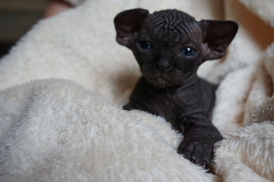 Amazing Sphynx Kittens For Adoption Offer Mosta