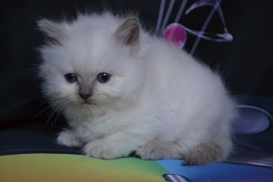 Sweet Ragdoll Kittens. Available To Reserve. offer British Shorthair