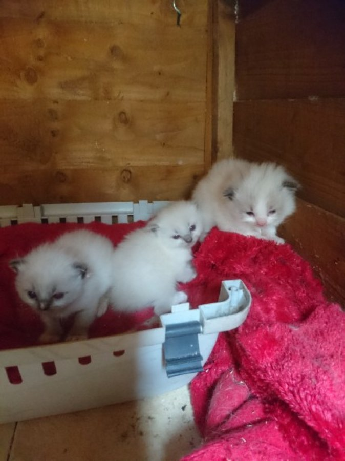 Stunning Ragdoll Kittens offer Ragdoll
