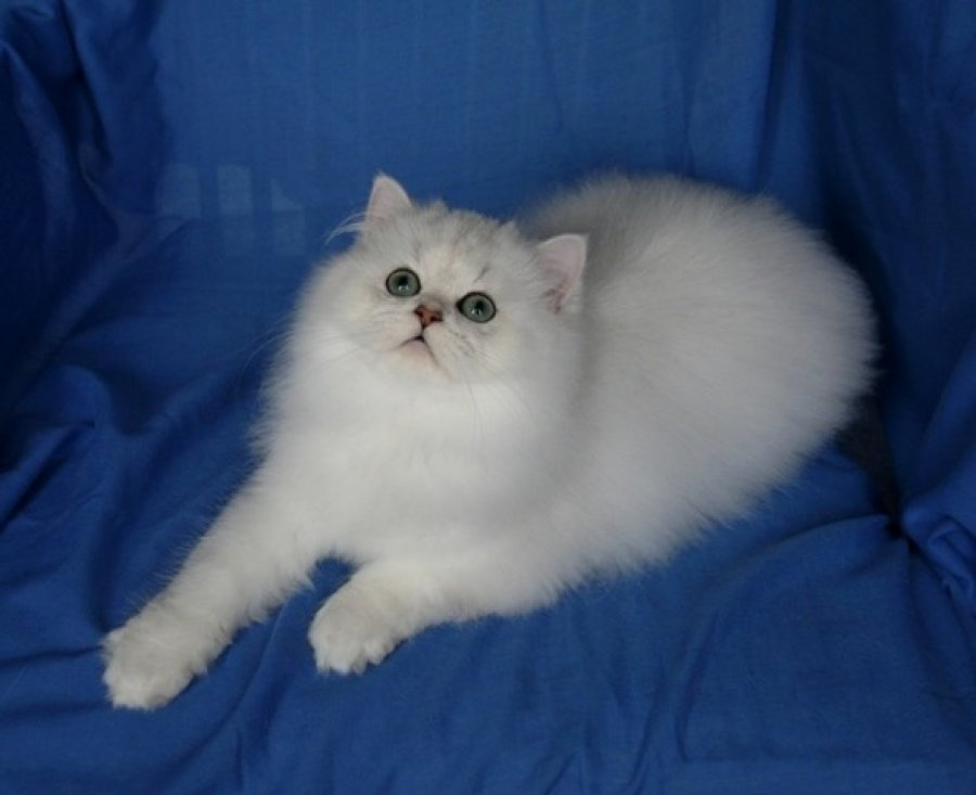***adorable Chinchilla Persian Kitten*** offer Persian