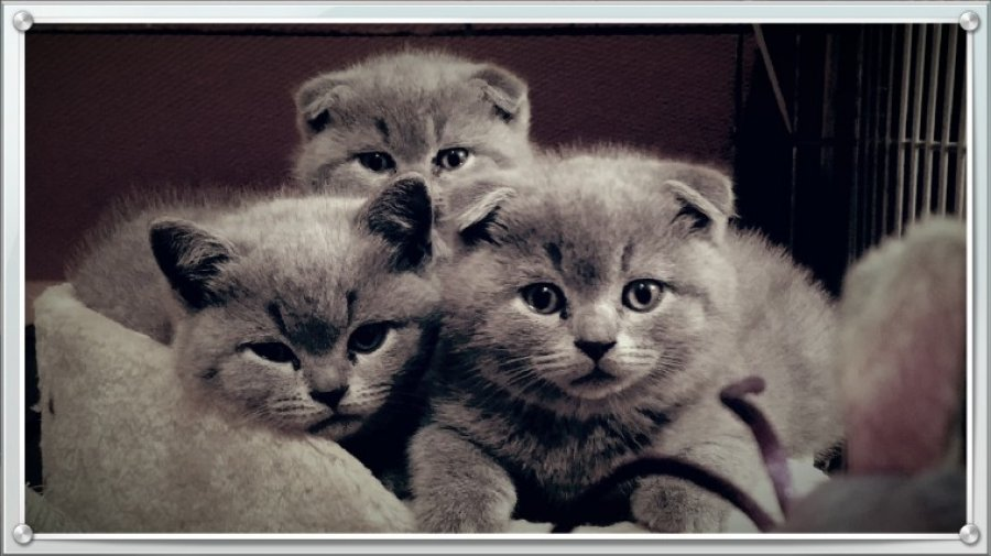 Pure Scottish Fold/straight Kittens offer Persian