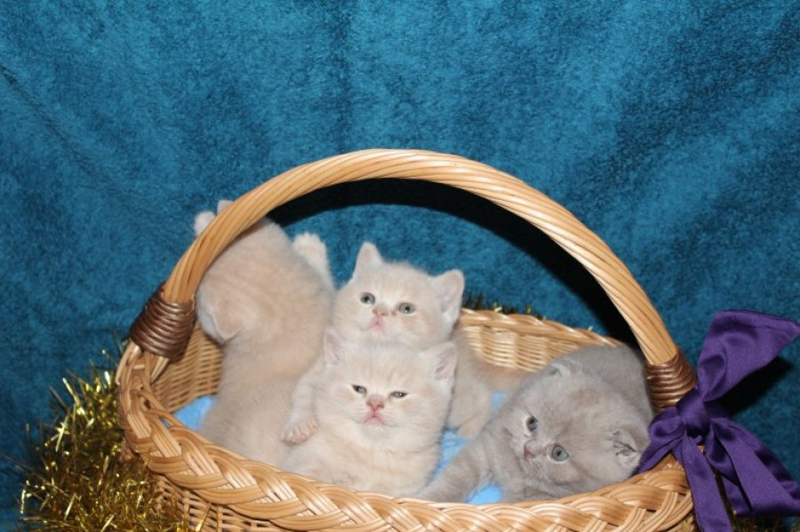 Scottish Fold And Straight Kittens offer Scottish Fold