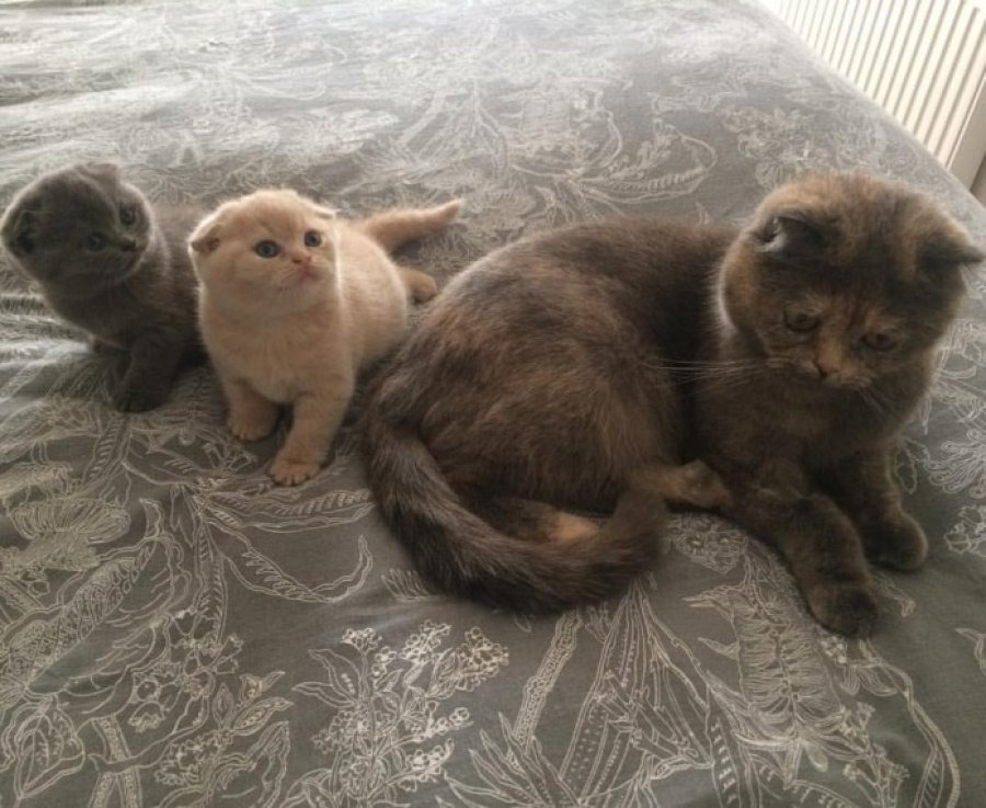 Scottish Folds- Join The Waiting List offer Scottish Fold