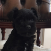 Excellent AKC registered Schnauzer puppies for sale Picture