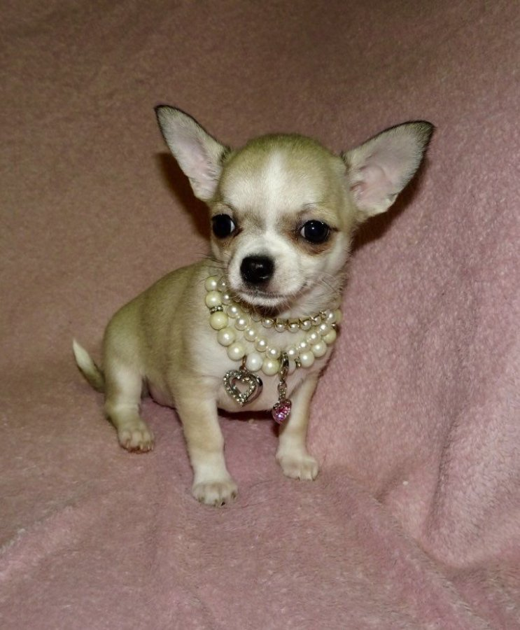 Images of Micro Teacup Chihuahua Puppies For Sale - #rock-cafe