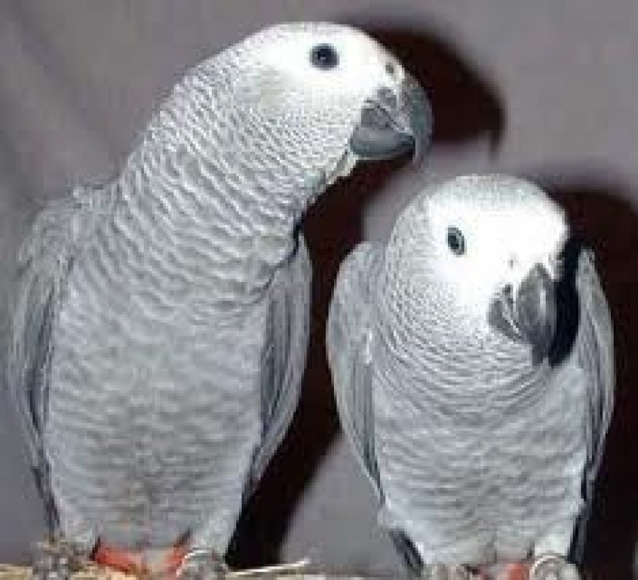 African Grey Parrots offer African Greys