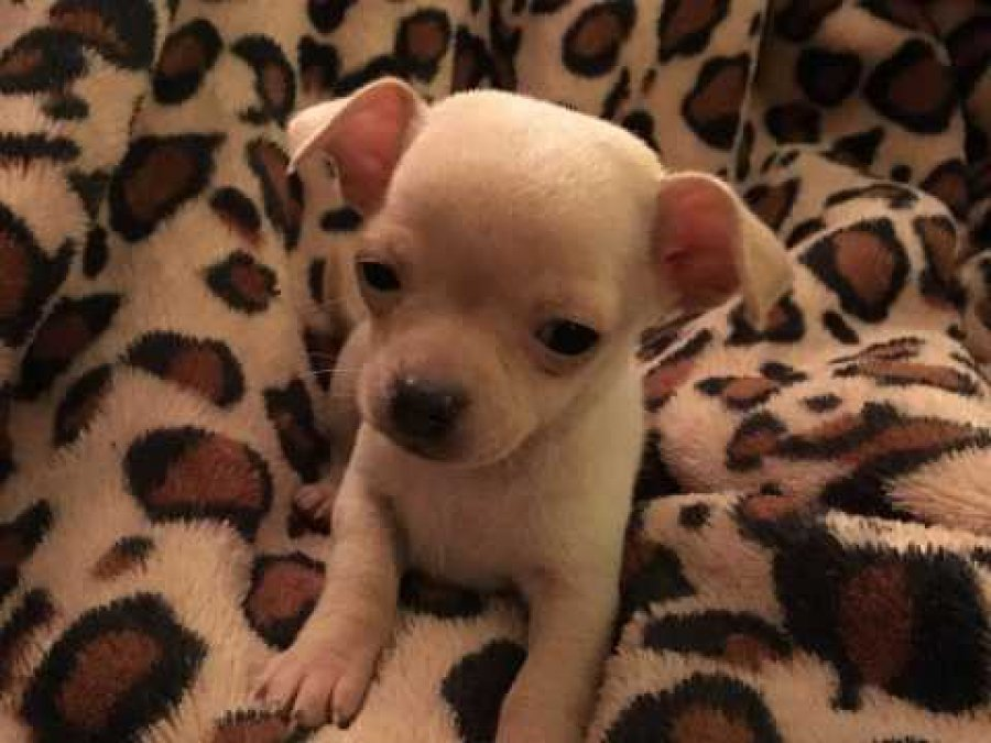 Chihuahua Pup For Sale Offer Malta 300
