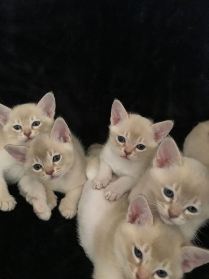 Burmilla Kittens Offer...