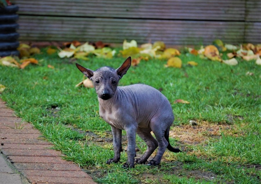 Miniature Mexican Hairless And Coated Puppies for sale offer Dogs & Puppies