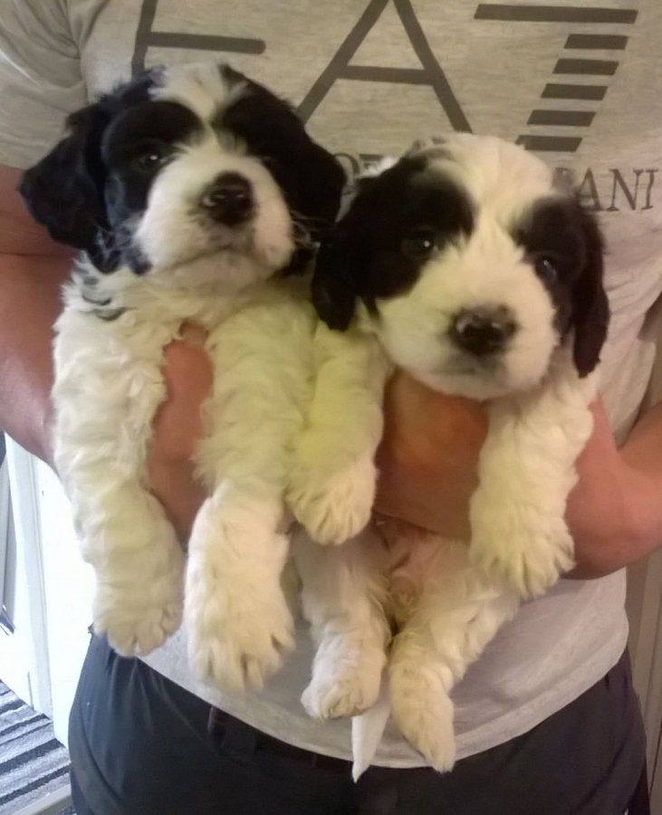 Beautiful Cockapoo Puppies - Ready To Go offer Dogs & Puppies