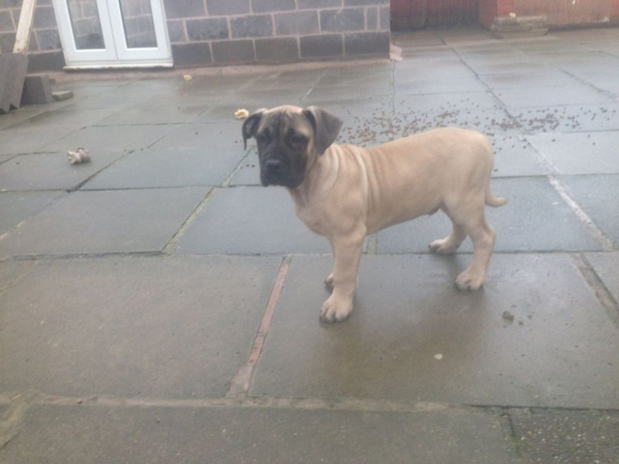 Cute  Boerboel Pups  offer Dogs & Puppies