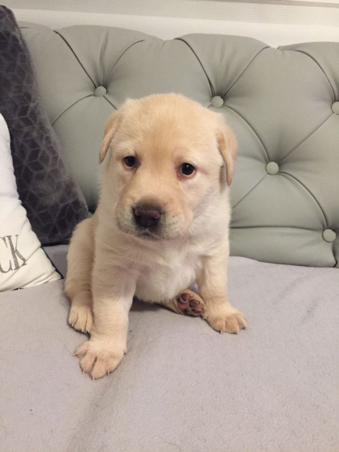 Beautiful Yellow Labrador Puppies For Sale. offer Dogs & Puppies