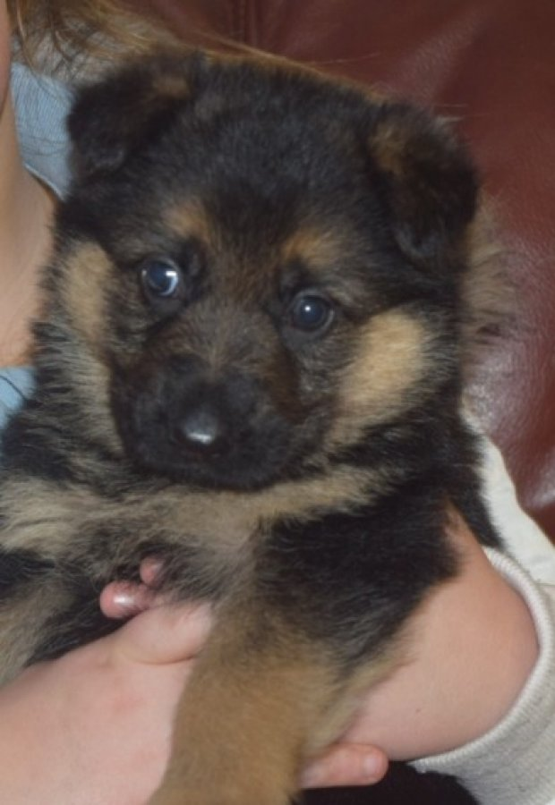 German Shepard Puppies Available For Free Adoption Offer