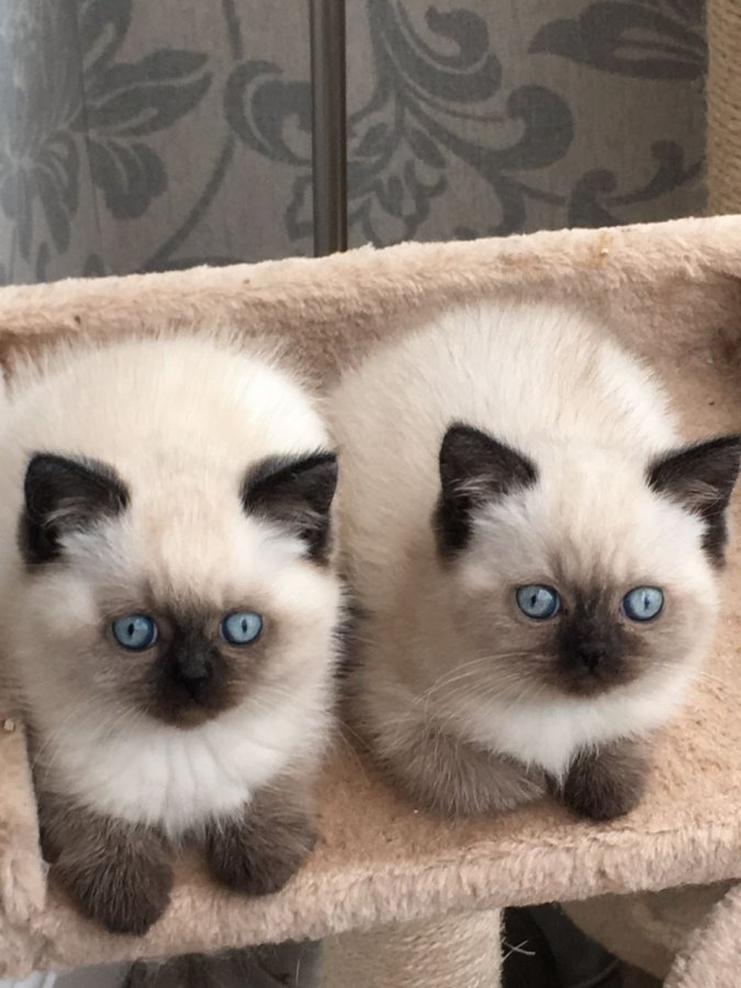 Teacup Cats For Sale