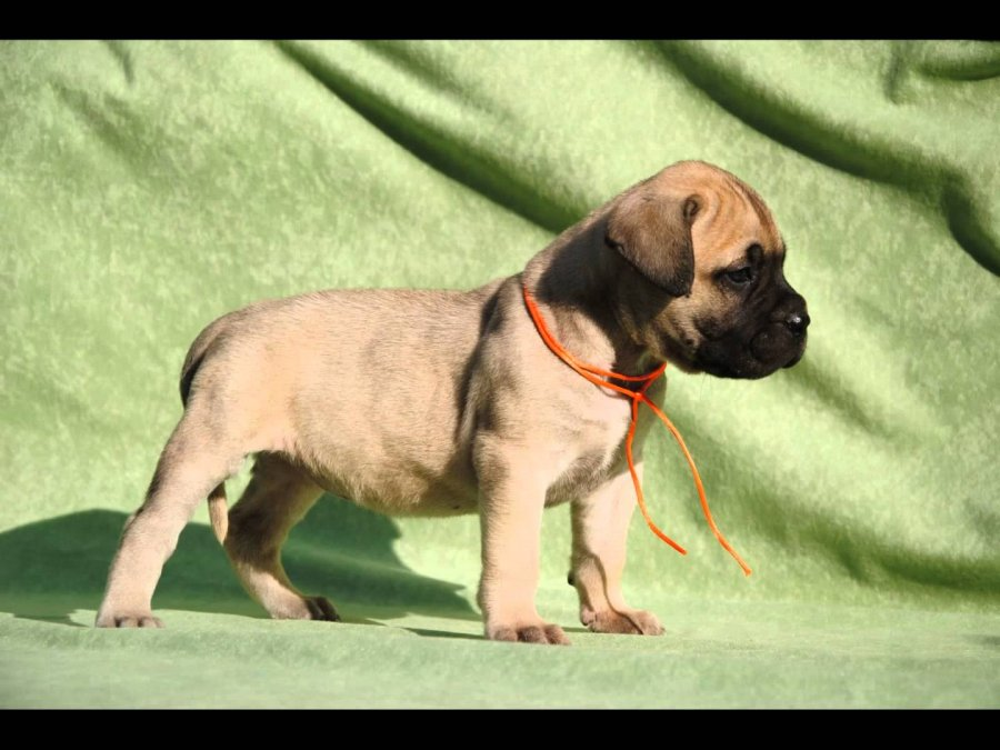Sweet And Nice English Bull Mastiff Puppies Offer