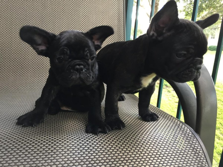 French Bulldog Puppies offer Dogs & Puppies