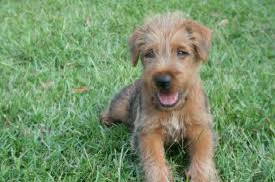 Charming Irish Terrier Puppies for sale offer Other Breeds of Dogs
