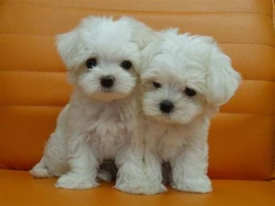 Gorgeous T-cup Maltese Puppies for sale  offer Maltese
